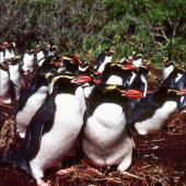 Snares crested penguin. Colony at peak laying. North East Island, Snares Islands, September 1985. Image © Colin Miskelly by Colin Miskelly
