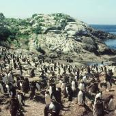 Snares crested penguin. Loafing subadults at colony. Station Cove, Snares Islands, January 1985. Image © Colin Miskelly by Colin Miskelly