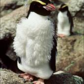 Snares crested penguin. Moulting subadult. North East Island, Snares Islands, February 1985. Image © Colin Miskelly by Colin Miskelly