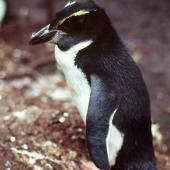 Snares crested penguin. Fledgling. North East Island, Snares Islands, February 1984. Image © Colin Miskelly by Colin Miskelly