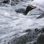 Erect-crested penguin. Adult swimming. Antipodes Island, January 2011. Image © David Boyle by David Boyle