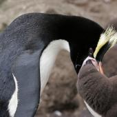 Erect-crested penguin. Adult feeding chick. Antipodes Island, December 2009. Image © David Boyle by David Boyle