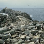 Erect-crested penguin. Erect-crested penguin colony with Salvin's mollymawks. Bounty Islands. Image © Department of Conservation ( image ref: 10028212 ) by Murray Williams Department of Conservation  Courtesy of Department of Conservation