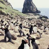 Erect-crested penguin. Colony. Orde Lees, Antipodes Island, November 1995. Image © Alan Tennyson by Alan Tennyson