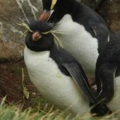 Erect-crested penguin. Adult preening an adult eastern rockhopper penguin. Campbell Island, December 2011. Image © Kyle Morrison by Kyle Morrison