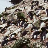 Erect-crested penguin. Breeding colony at peak egg-laying. Antipodes Island, October 1990. Image © Colin Miskelly by Colin Miskelly