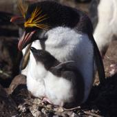 Macaroni penguin. Adult male and chick on nest. Cap Cotter, Iles Kerguelen, December 2015. Image © Colin Miskelly by Colin Miskelly