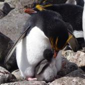 Macaroni penguin. Adult female feeding chick on nest. Cap Cotter, Iles Kerguelen, December 2015. Image © Colin Miskelly by Colin Miskelly