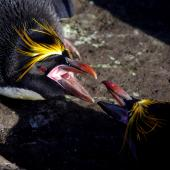 Macaroni penguin. Adult males fighting. Cap Cotter, Iles Kerguelen, December 2015. Image © Colin Miskelly by Colin Miskelly