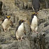 Macaroni penguin. Adults on rock face. Hercules Bay,  South Georgia, January 2016. Image © Rebecca Bowater  by Rebecca Bowater FPSNZ AFIAP www.floraandfauna.co.nz