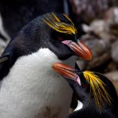 Macaroni penguin. Breeding pair, male above. Cap Cotter, Iles Kerguelen, December 2015. Image © Colin Miskelly by Colin Miskelly