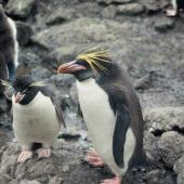 Macaroni penguin. Adult with eastern rockhopper penguin. Penguin Bay, Campbell Island, January 1993. Image © Alan Tennyson by Alan Tennyson Alan Tennyson