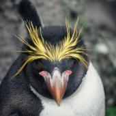 Macaroni penguin. Adult (probably male). Penguin Bay, Campbell Island, January 1993. Image © Alan Tennyson by Alan Tennyson Alan Tennyson