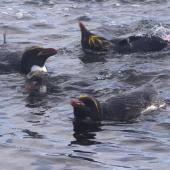 Macaroni penguin. Adults swimming offshore from colony. Cap Cotter, Iles Kerguelen, December 2015. Image © Colin Miskelly by Colin Miskelly
