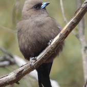 Dusky woodswallow. Adult. Yankee Hat, Namadgi National Park, ACT, Australia., November 2019. Image © R.M. by R.M.