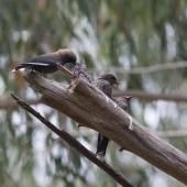 Dusky woodswallow. Parent feeding one of its brood. Melbourne, January 2014. Image © Sonja Ross by Sonja Ross