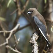 Dusky woodswallow. Adult perched near nest. Pengilly Scrub, Roseworthy, South Australia, October 2014. Image © Craig Greer by Craig Greer http://craiggreer.com