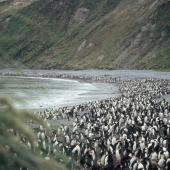 Royal penguin. Colony. Macquarie Island, December 2005. Image © Department of Conservation ( image ref: 10062321 ) by Sam O'Leary Department of Conservation  Courtesy of Department of Conservation