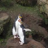 Royal penguin. Preening adults. , November 2011. Image © Sonja Ross by Sonja Ross