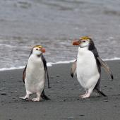 Royal penguin. Adults on beach. Macquarie Island, November 2011. Image © Sonja Ross by Sonja Ross