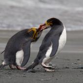 Royal penguin. Aggressive encounter between two adults. Macquarie Island, November 2011. Image © Sonja Ross by Sonja Ross