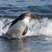 Royal penguin. Adult leaving the water. Macquarie Island, November 2011. Image © Sonja Ross by Sonja Ross