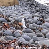 Royal penguin. In moult. Pitt Island, February 2005. Image © Tim Barnard by Tim Barnard