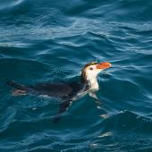 Royal penguin. Adult swimming. Macquarie Island, December 2015. Image © Edin Whitehead by Edin Whitehead Edin Whitehead www.edinz.com