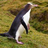 Yellow-eyed penguin. Adult walking showing pink feet. Enderby Island, Auckland Islands, January 2007. Image © Ian Armitage by Ian Armitage