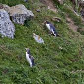 Yellow-eyed penguin. Walking up steep incline to nest site. Otago Peninsula, December 2010. Image © Raewyn Adams by Raewyn Adams
