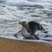 Yellow-eyed penguin. Adult, surfing in to land on the beach. Katiki Point,  Otago, June 2016. Image © Kathy Reid by Kathy Reid