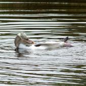Yellow-eyed penguin. Immature bird in freshwater pond. Otago Peninsula, November 2012. Image © Joke Baars by Joke Baars