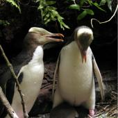 Yellow-eyed penguin. Adult male (left) and female (brooding) two chicks at nest. Catlins, December 2009. Image © Cheryl Pullar by Cheryl Pullar
