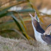 Yellow-eyed penguin. Adult calling. Otago Peninsula, January 2016. Image © Arindam Bhattacharya by Arindam Bhattacharya © www.ArindamBhattacharya.com