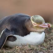 Yellow-eyed penguin. Adult lying down. Dunedin, January 2016. Image © Arindam Bhattacharya by Arindam Bhattacharya © www.ArindamBhattacharya.com