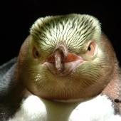 Yellow-eyed penguin. Front view of adult head. Catlins, Hinahina Forest, October 2006. Image © Cheryl Pullar by Cheryl Pullar