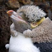Yellow-eyed penguin. Close view of adult head in moult. Otago Peninsula, March 2006. Image © Craig McKenzie by Craig McKenzie