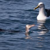Yellow-eyed penguin. Adult swimming with Buller's mollymawk. At sea off Otago Peninsula, April 2012. Image © Craig Mckenzie by Craig Mckenzie