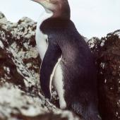 Yellow-eyed penguin. Vagrant subadult. Rangatira Island, Chatham Islands, January 1984. Image © Colin Miskelly by Colin Miskelly