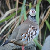 Red-legged partridge. Adult. Rangitikei River near Vinegar Hill, August 2009. Image © Steve Pilkington by Steve Pilkington