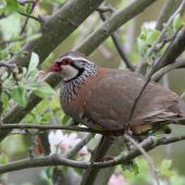 Red-legged partridge. Adult hiding within tree. Bridge Pa, Hastings, October 2013. Image © Adam Clarke by Adam Clarke