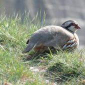 Red-legged partridge. Adult. Cape Kidnappers, October 2007. Image © Steffi Ismar by Steffi Ismar Courtesy of S. Ismar.