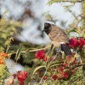 Red-vented bulbul. Adult. Khajuraho, India, March 2017. Image © Roger Smith by Roger Smith