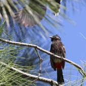 Red-vented bulbul. Adult, ventral. Fiji, October 2013. Image © Craig Steed by Craig Steed
