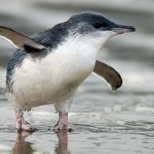 Little penguin. Adult walking. Warrington Beach, Otago, December 2006. Image © Craig McKenzie by Craig McKenzie
