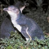 Little penguin. Adult. Rangatira Island, January 1991. Image © Graeme Taylor by Graeme Taylor