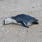 Little penguin. Dead bird washed up on beach. Pakiri Beach, November 2011. Image © Raewyn Adams by Raewyn Adams