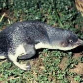 Little penguin. Adult with neck outstretched. Rangatira Island, Chatham Islands, January 1991. Image © Alan Tennyson by Alan Tennyson