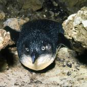 Little penguin. Adult coming onshore. Poor Knights Islands, November 1977. Image © Albert Aanensen by Albert Aanensen