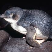 Little penguin. Adult in profile. Little Barrier Island. Image © Terry Greene by Terry Greene